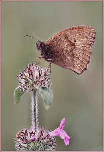 Meadow Brown on Wild Basil by PhilG_DPAGB