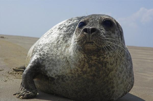 Common Seal (W) by IanA