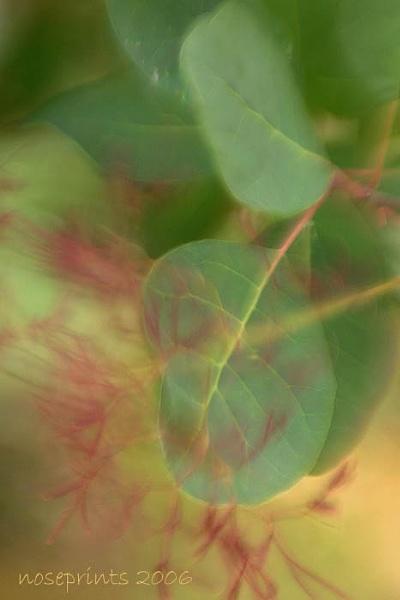 smoke bush smoke by noseprints