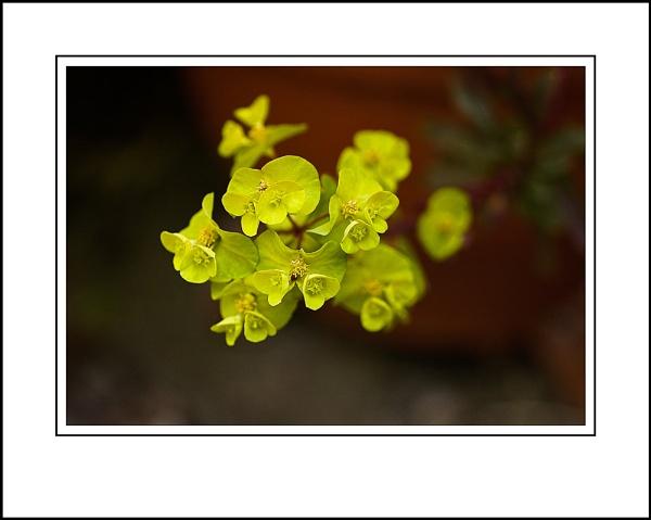 Euphorbia Flower by akh