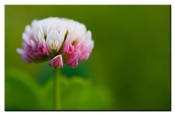 wild clover by brandi