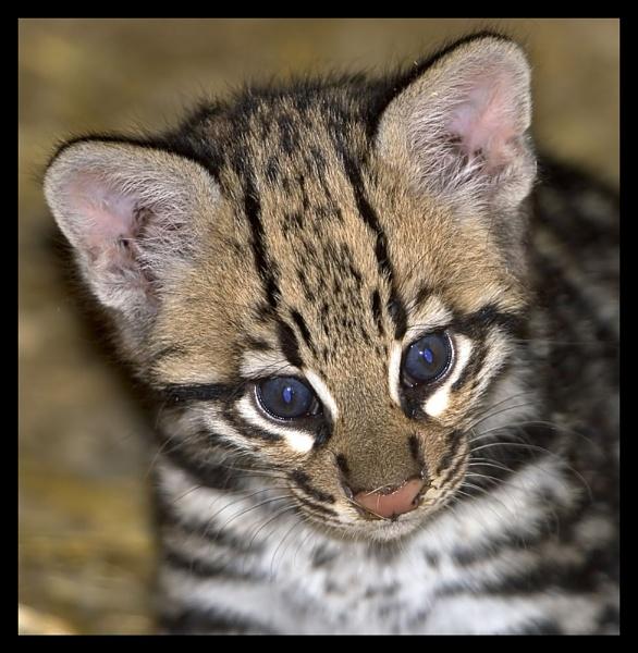 Leopardus pardalis... by Pete_g