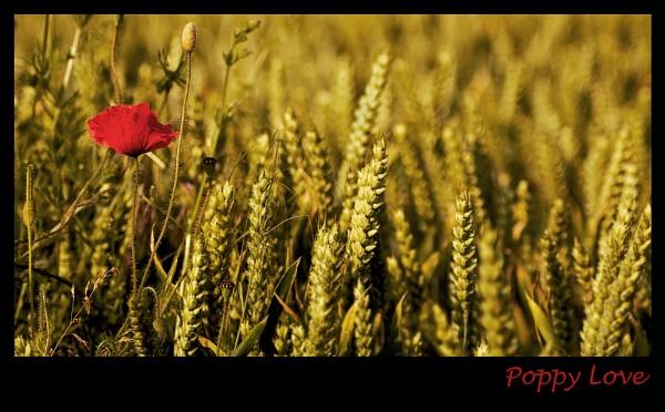 Poppy Love by CathyT