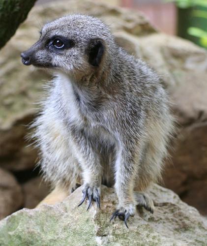 Meerkat Lookout by admiles