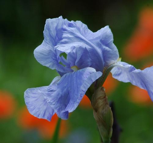 Iris by playfulpixie