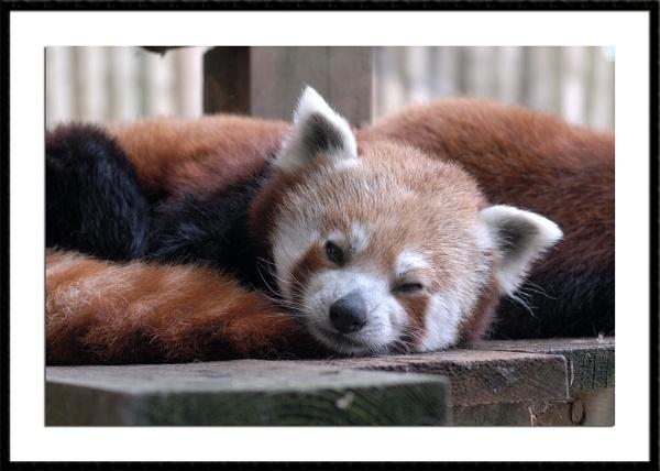 Red Panda by wwwCOLEUKcom