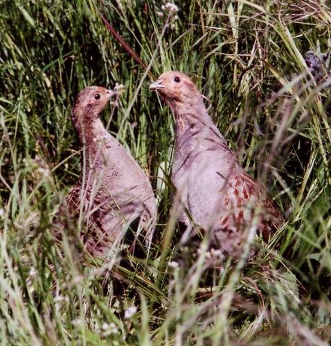 English Partridges (grey) by Deerman