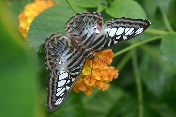 Clipper butterfly by Pogs