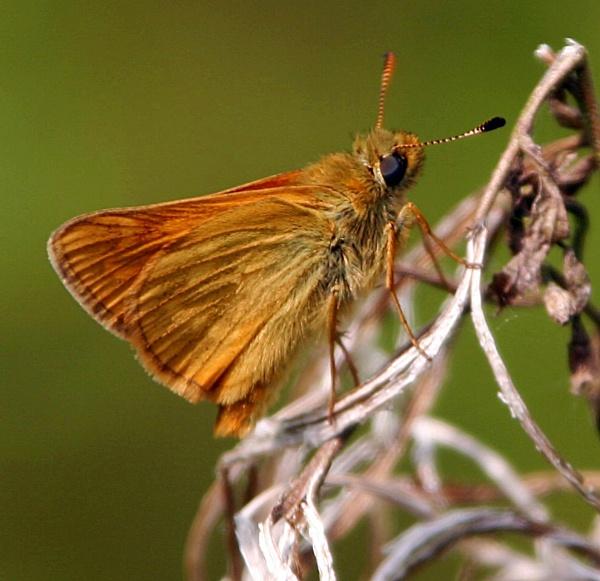 hairy butterfly by Pogs