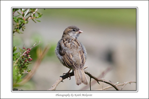 Young Sparrow by Keith-Mckevitt