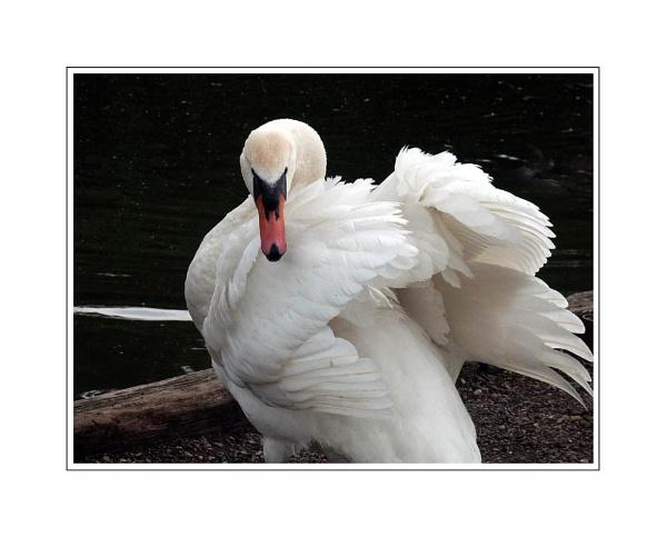 Agitated Swan by Dennie