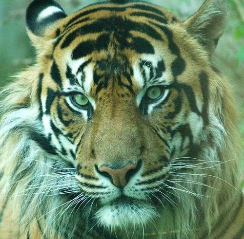 Tiger by scotcav