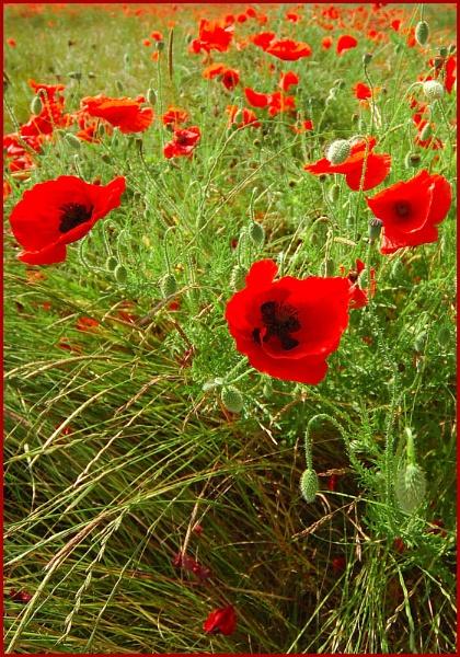 Poppies by WayneG