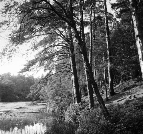 Pines and Pond by andygibb