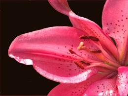 2nd Lily