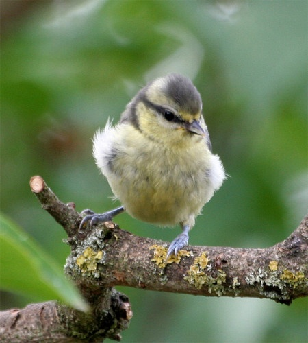 young tit by brainy