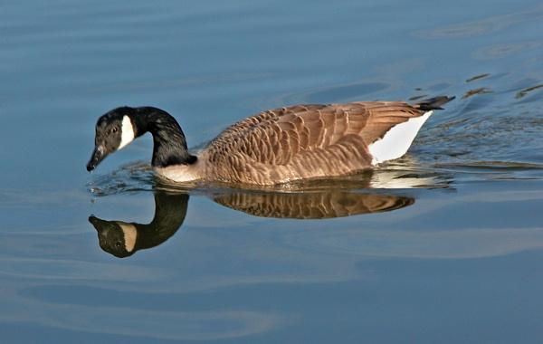 Canada Goose by BillS