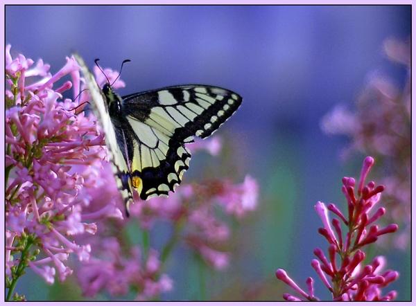 butterfly by zebhylon