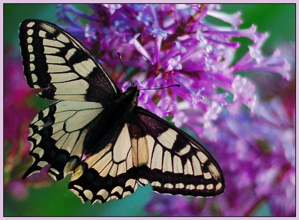 butterfly #2 by zebhylon