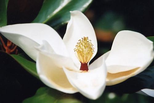 Magnolia by tarara