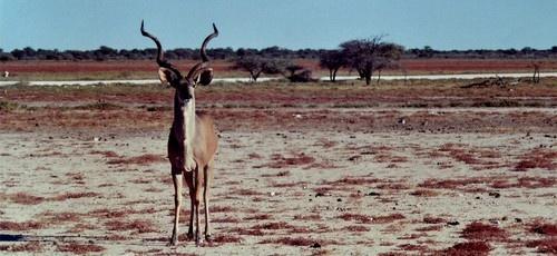 Kudu by Deerman