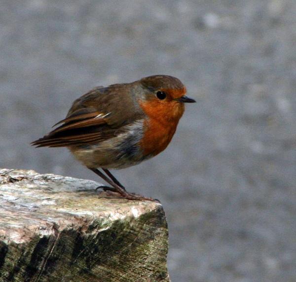 Robin by Pogs