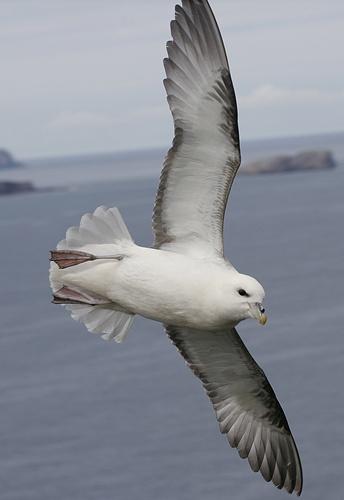Fulmar in Flight by amwaluk