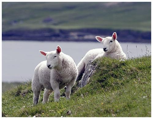 New Lambs by amwaluk