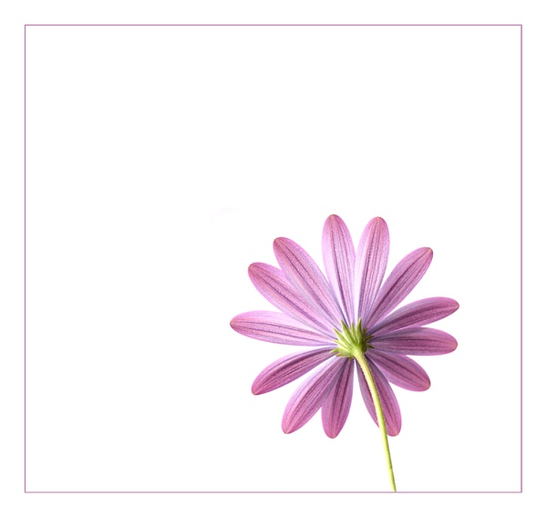 Osteospermum by jeanette