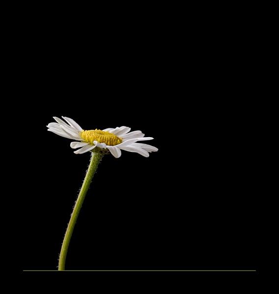 Daisy by jeanette