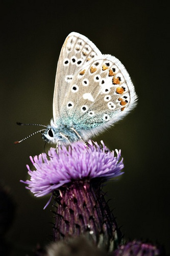 Common blue by Dave_Henderson