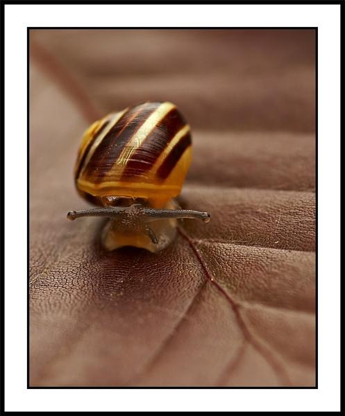 Humbug Snail by Tom_H