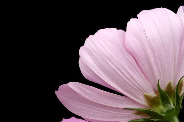 Sonata Pink by AngelaD