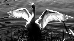 Swan by andgramar