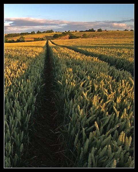 Ripening Crops by Nigel_95
