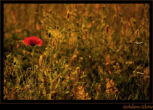 Golden Glow by CathyT
