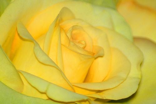 Yellow Rose by JenG