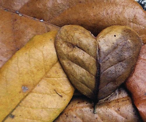 Oak heart by tarara