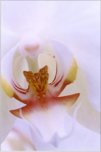 White Phalaenopsis by Noddyboy