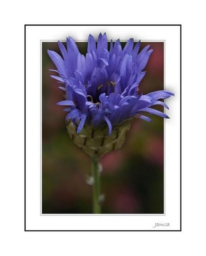 Cornflower Blue by jamsa