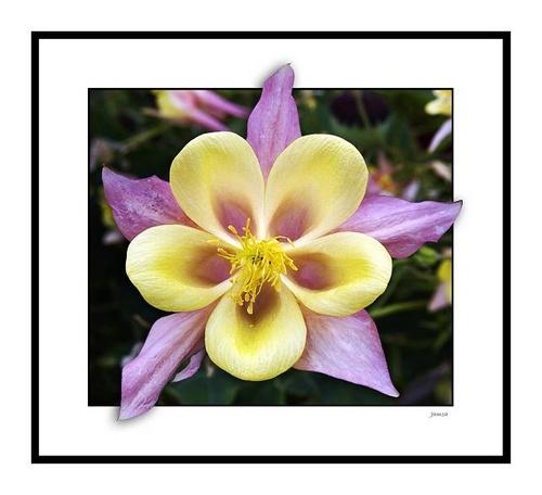 Five star flower by jamsa