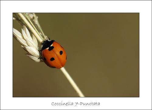 7 Spotted Ladybird by sferguk