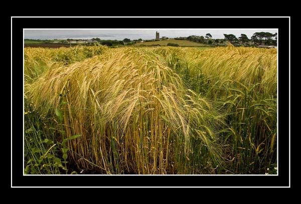 Wheat by penzance
