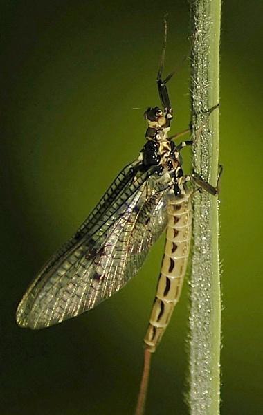 Mayfly by faulknerstv