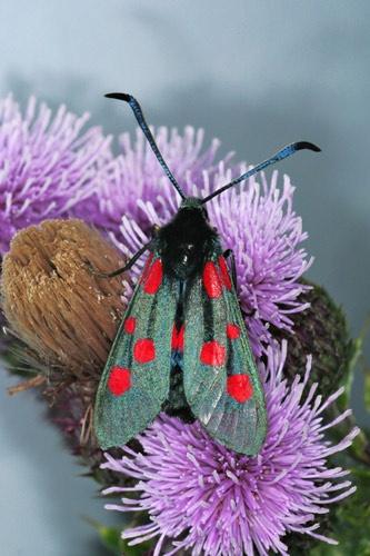 Burnet Moth by Dave_Henderson