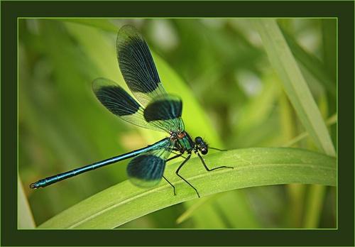 Banded Damseille Fly by chrissycj