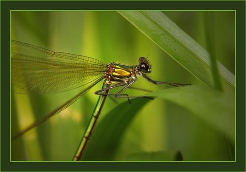 Female Damoiselle Fly by chrissycj