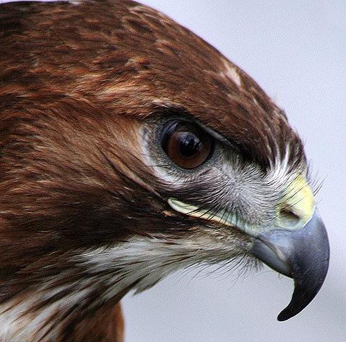 hawk 3 by Matthew_Leyshon