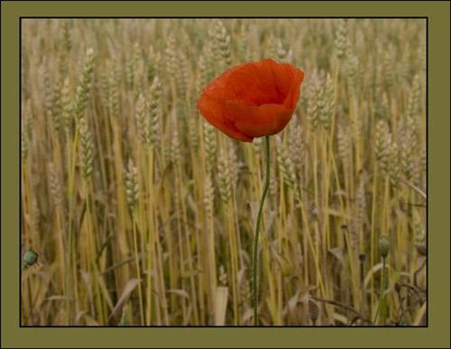 Poppy by Dorothea