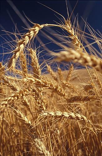 Washington Wheat by sjatkinson